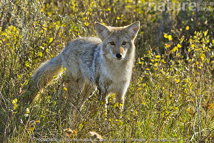 Coyote (Canis latrans) juvenile, Theodore Roosevelt National Park, North Dakota, Canis latrans, Color Image, Coyote, Day, Full Length, Horizontal, Juvenile, Looking at Camera, Nobody, North Dakota, One Animal, Outdoors, Photography, Side View, Theodore Roosevelt National Park, Wildlife,Coyote,North Dakota, USA, Yva Momatiuk & John Eastcott