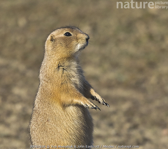 Black-tailed Prairie Dog (Cynomys ludovicianus) on alert, Theodore Roosevelt National Park, North Dakota, Adult, Alert, Black-tailed Prairie Dog, Color Image, Cynomys ludovicianus, Day, Horizontal, Nobody, North Dakota, One Animal, Outdoors, Photography, Side View, Square, Standing, Theodore Roosevelt National Park, Upright, Waist Up, Wildlife,Black-tailed Prairie Dog,North Dakota, USA, Yva Momatiuk & John Eastcott