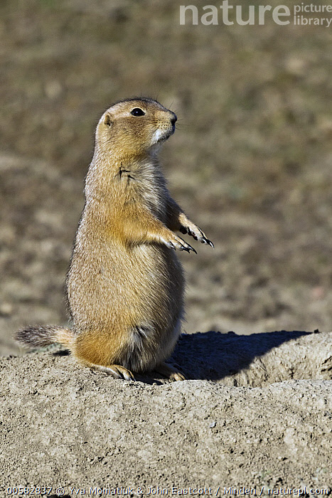 Black-tailed Prairie Dog (Cynomys ludovicianus) on alert, Theodore Roosevelt National Park, North Dakota  ,  Adult, Alert, Black-tailed Prairie Dog, Color Image, Cynomys ludovicianus, Day, Full Length, Nobody, North Dakota, One Animal, Outdoors, Photography, Side View, Standing, Theodore Roosevelt National Park, Upright, Vertical, Wildlife,Black-tailed Prairie Dog,North Dakota, USA  ,  Yva Momatiuk & John Eastcott