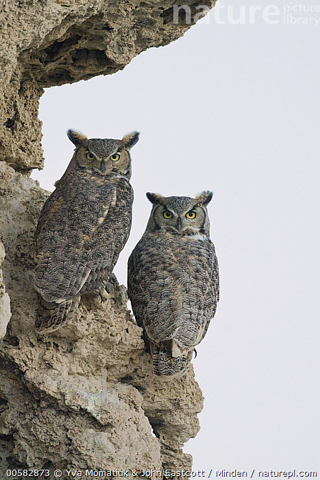 Great Horned Owl (Bubo virginianus) pair on calcium tufa formation, Mono Lake, California  ,  Adult, Bubo virginianus, California, Calcium, Color Image, Day, Full Length, Great Horned Owl, Looking at Camera, Mono Lake, Nobody, Outdoors, Photography, Raptor, Rear View, Tufa, Two Animals, Vertical, Wildlife,Great Horned Owl,California, USA  ,  Yva Momatiuk & John Eastcott