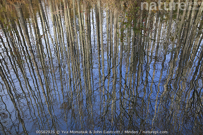 Dwarf Cypress (Taxodium sp) trees reflected in water, Pine Tree Creek, Goodale State Park, South Carolina  ,  Abstract, Color Image, Day, Dwarf Cypress, Goodale State Park, Horizontal, Landscape, Nobody, Outdoors, Photography, Pine Tree Creek, Reflection, Ripple, South Carolina, Swamp, Taxodium sp, Tree, Upside Down, Water,Dwarf Cypress,South Carolina, USA  ,  Yva Momatiuk & John Eastcott