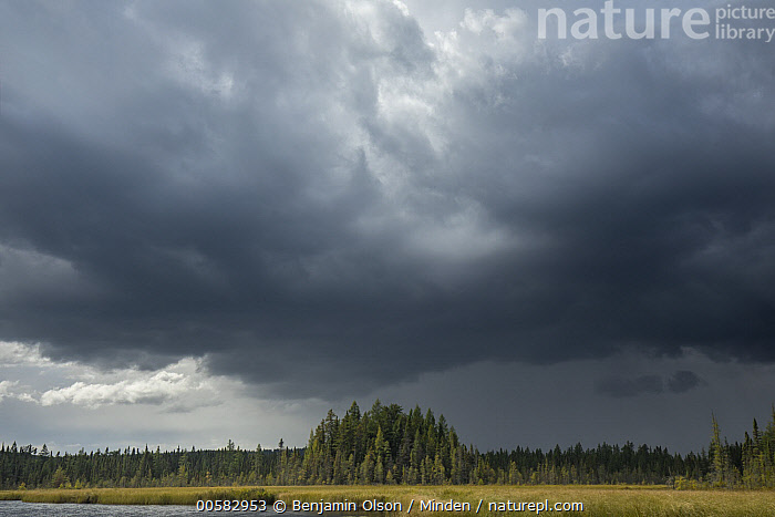 Black Spruce (Picea mariana) trees in bog during storm, Minnesota  ,  Black Spruce, Bog, Cloudy, Color Image, Day, Forest, Horizontal, Landscape, Minnesota, Nobody, Outdoors, Photography, Picea mariana, Sky, Storm, Tree,Black Spruce,Minnesota, USA  ,  Benjamin Olson