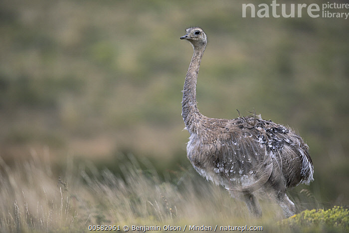Lesser Rhea (Rhea pennata), Torres del Paine National Park, Chile, Adult, Chile, Color Image, Day, Full Length, Horizontal, Lesser Rhea, Nobody, One Animal, Outdoors, Photography, Rhea pennata, Side View, Torres Del Paine National Park, Wildlife,Lesser Rhea,Chile, Benjamin Olson