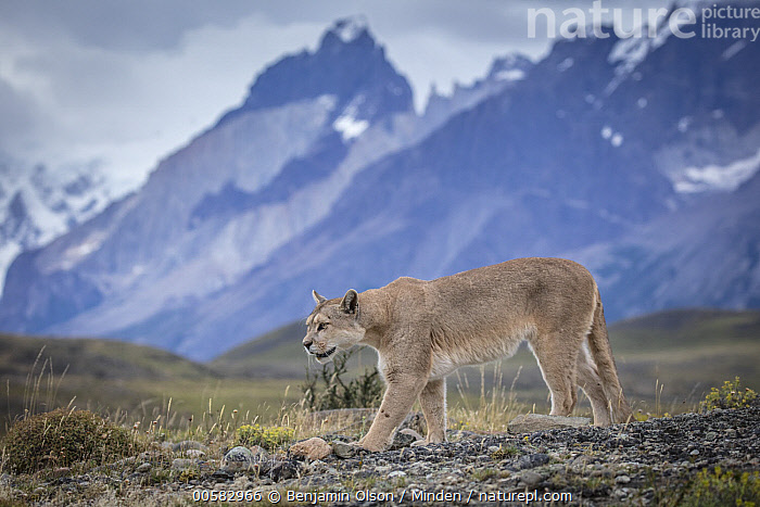 Mountain Lion (Puma concolor) and mountains, Cordillera Paine, Torres del Paine National Park, Chile, Adult, Animal in Habitat, Chile, Color Image, Cordillera Paine, Day, Full Length, Horizontal, Mountain, Mountain Range, Mountain Lion, Nobody, One Animal, Outdoors, Peak, Photography, Puma concolor, Side View, Torres Del Paine National Park, Wildlife,Mountain Lion,Chile, Benjamin Olson
