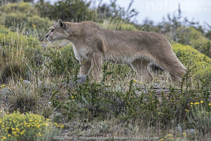 Mountain Lion (Puma concolor) hunting, Torres del Paine National Park, Chile, Adult, Alert, Chile, Color Image, Day, Full Length, Horizontal, Hunting, Low Angle View, Mountain Lion, Nobody, One Animal, Outdoors, Photography, Puma concolor, Side View, Torres Del Paine National Park, Wildlife,Mountain Lion,Chile, Benjamin Olson