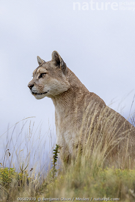 Mountain Lion (Puma concolor), Torres del Paine National Park, Chile  ,  Adult, Chile, Color Image, Day, Mountain Lion, Nobody, One Animal, Outdoors, Photography, Puma concolor, Side View, Torres Del Paine National Park, Vertical, Waist Up, Wildlife,Mountain Lion,Chile  ,  Benjamin Olson