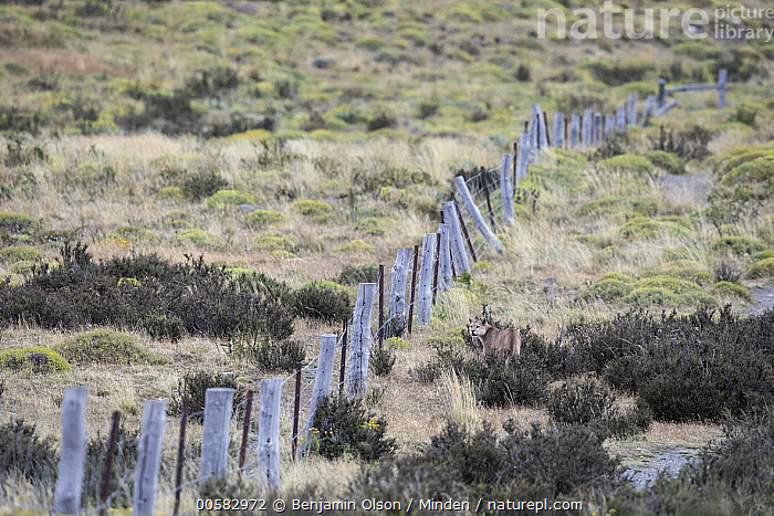 Mountain Lion (Puma concolor) and ranch fence, Torres del Paine National Park, Chile, Adult, Chile, Color Image, Day, Fence, Full Length, Horizontal, Mountain Lion, Nobody, One Animal, Outdoors, Photography, Puma concolor, Ranch, Rear View, Torres Del Paine National Park, Wildlife,Mountain Lion,Chile, Benjamin Olson