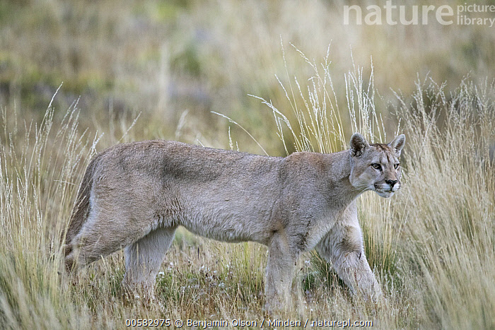Mountain Lion (Puma concolor), Torres del Paine National Park, Chile  ,  Adult, Chile, Color Image, Day, Full Length, Horizontal, Mountain Lion, Nobody, One Animal, Outdoors, Photography, Puma concolor, Side View, Torres Del Paine National Park, Wildlife,Mountain Lion,Chile  ,  Benjamin Olson