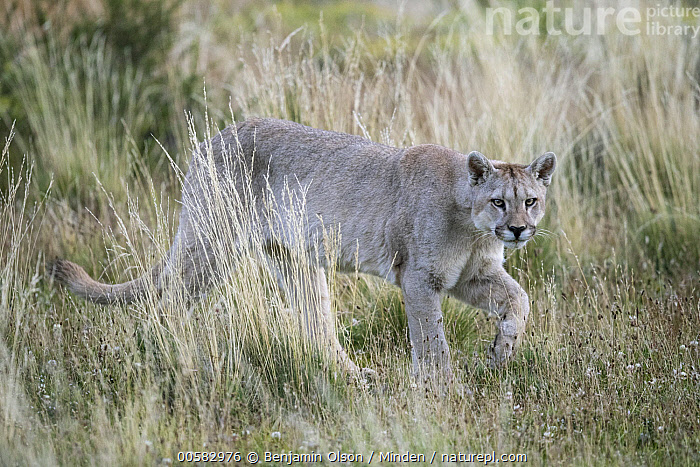 Mountain Lion (Puma concolor), Torres del Paine National Park, Chile, Adult, Chile, Color Image, Day, Full Length, Horizontal, Looking at Camera, Mountain Lion, Nobody, One Animal, Outdoors, Photography, Puma concolor, Side View, Torres Del Paine National Park, Wildlife,Mountain Lion,Chile, Benjamin Olson