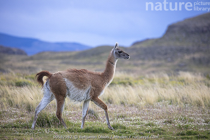 Guanaco (Lama guanicoe), Torres del Paine National Park, Chile  ,  Adult, Chile, Color Image, Day, Full Length, Guanaco, Horizontal, Lama guanicoe, Nobody, One Animal, Outdoors, Photography, Side View, Torres Del Paine National Park, Wildlife,Guanaco,Chile  ,  Benjamin Olson