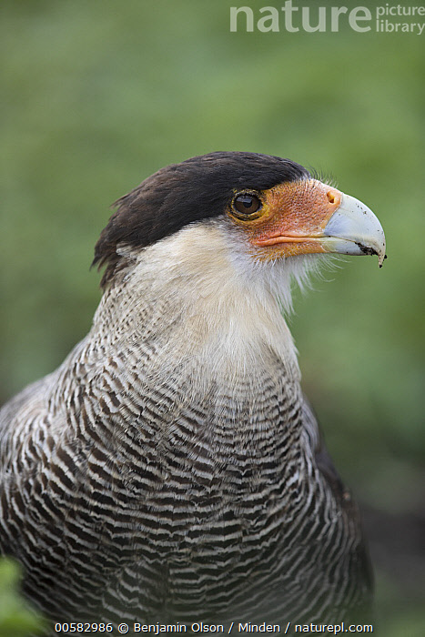 Southern Caracara (Caracara plancus), Torres del Paine National Park, Chile, Adult, Caracara plancus, Chile, Color Image, Day, Front View, Nobody, One Animal, Outdoors, Photography, Raptor, Southern Caracara, Torres Del Paine National Park, Vertical, Waist Up, Wildlife,Southern Caracara,Chile, Benjamin Olson