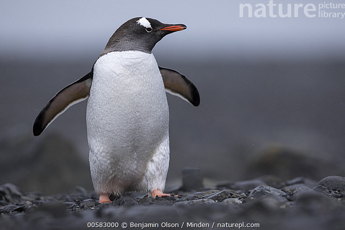 Gentoo Penguin (Pygoscelis papua), Antarctica, Adult, Antarctica, Color Image, Day, Front View, Full Length, Gentoo Penguin, Horizontal, Nobody, One Animal, Outdoors, Photography, Pygoscelis papua, Seabird, Spreading Wings, Wildlife,Gentoo Penguin,Antarctica, Benjamin Olson