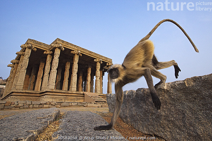 Hanuman Langur (Semnopithecus entellus) male running near temple, Hampi, Karnataka, India, Adult, Color Image, Day, Full Length, Hampi, Hanuman Langur, Horizontal, India, Karnataka, Low Angle View, Male, Nobody, One Animal, Outdoors, Photography, Running, Semnopithecus entellus, Side View, Temple, Urban, Wide-angle Lens, Wildlife,Hanuman Langur,India, Anup Shah