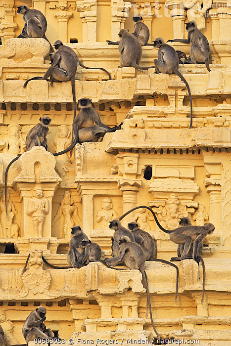 Hanuman Langur (Semnopithecus entellus) group on temple, Virupaksha Temple, Hampi, Karnataka, India  ,  Adult, Color Image, Day, Full Length, Hampi, Hanuman Langur, India, Karnataka, Large Group of Animals, Nobody, Outdoors, Photography, Semnopithecus entellus, Side View, Temple, Urban, Vertical, Virupaksha Temple, Wildlife,Hanuman Langur,India  ,  Fiona Rogers