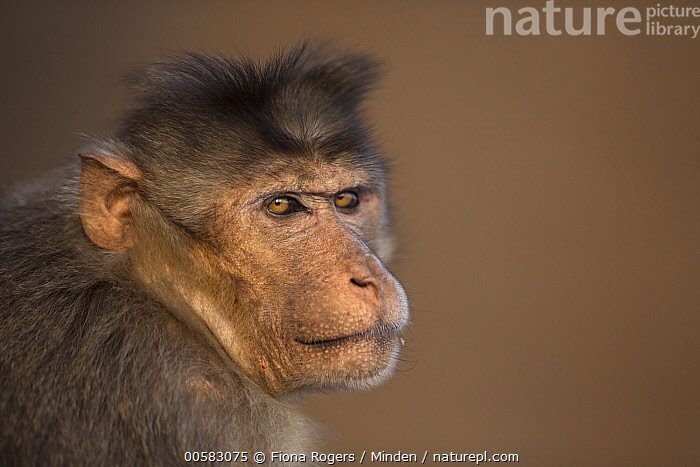 Hanuman Langur (Presbytis entellus) male, Hampi, Karnataka, India, Adult, Bonnet Macaque, Color Image, Day, Hampi, Head and Shoulders, Horizontal, India, Karnataka, Looking at Camera, Macaca radiata, Male, Nobody, One Animal, Outdoors, Photography, Portrait, Profile, Side View, Wildlife,Bonnet Macaque,India, Fiona Rogers
