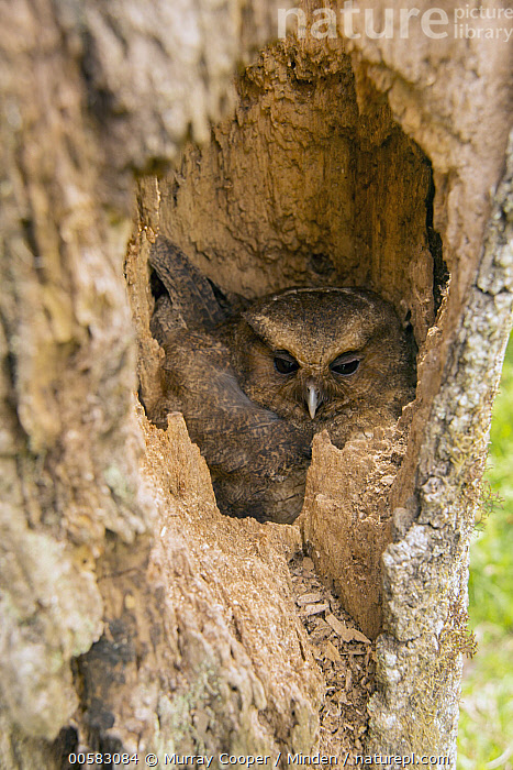 Rufescent Screech-Owl (Otus ingens) in nest cavity, South America  ,  Adult, Camouflage, Color Image, Day, Front View, Full Length, High Angle View, Incubating, Nest Cavity, Nobody, One Animal, Otus ingens, Outdoors, Photography, Raptor, Rufescent Screech-Owl, South America, Vertical, Wildlife,Rufescent Screech-Owl,South America  ,  Murray Cooper