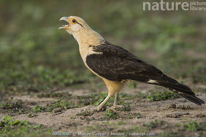 Yellow-headed Caracara (Milvago chimachima) calling, South America  ,  Adult, Calling, Color Image, Day, Full Length, Horizontal, Milvago chimachima, Nobody, One Animal, Open Mouth, Outdoors, Photography, Raptor, Side View, South America, Wildlife, Yellow-headed Caracara,Yellow-headed Caracara,South America  ,  Murray Cooper
