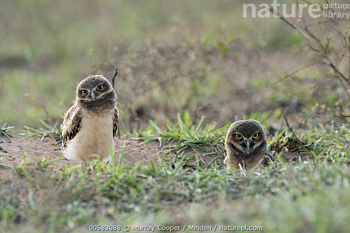 Burrowing Owl (Athene cunicularia) juveniles at burrow, South America, Adult, Athene cunicularia, Burrowing Owl, Burrow, Color Image, Day, Front View, Full Length, Horizontal, Juvenile, Looking at Camera, Nobody, Outdoors, Photography, Raptor, South America, Two Animals, Waist Up, Wildlife,Burrowing Owl,South America, Murray Cooper