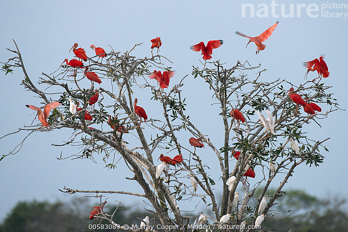 White Ibis (Eudocimus albus), Scarlet Ibis (Eudocimus ruber), and Cattle Egret (Bubulcus ibis) flock roosting in tree, South America  ,  Adult, Bubulcus ibis, Cattle Egret, Color Image, Day, Eudocimus albus, Eudocimus ruber, Flock, Flying, Full Length, Horizontal, Landing, Large Group of Animals, Mixed, Nobody, Outdoors, Photography, Rear View, Roosting, Scarlet Ibis, Side View, South America, Wading Bird, White Ibis, Wildlife,White Ibis,Scarlet Ibis,Eudocimus ruber,South America  ,  Murray Cooper