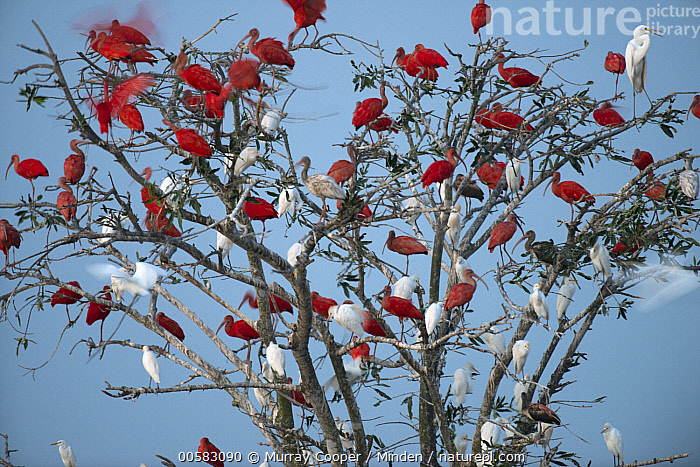White Ibis (Eudocimus albus), Scarlet Ibis (Eudocimus ruber), and Cattle Egret (Bubulcus ibis) flock roosting in tree, South America  ,  Adult, Bubulcus ibis, Cattle Egret, Color Image, Day, Eudocimus albus, Eudocimus ruber, Flock, Full Length, Horizontal, Large Group of Animals, Mixed, Nobody, Outdoors, Photography, Roosting, Scarlet Ibis, Side View, South America, Wading Bird, White Ibis, Wildlife,White Ibis,Scarlet Ibis,Eudocimus ruber,South America  ,  Murray Cooper