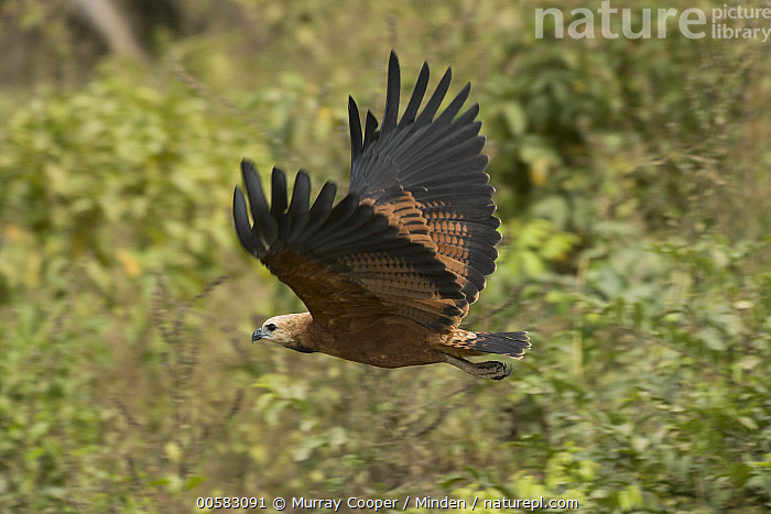 Black-collared Hawk (Busarellus nigricollis) flying, South America, Adult, Black-collared Hawk, Busarellus nigricollis, Color Image, Day, Flying, Full Length, Horizontal, Nobody, One Animal, Outdoors, Photography, Raptor, Side View, South America, Wildlife,Black-collared Hawk,South America, Murray Cooper