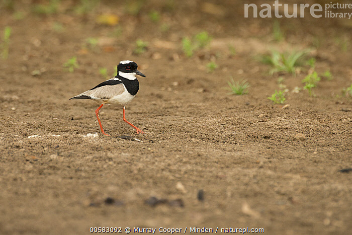 Pied Lapwing (Vanellus cayanus), South America  ,  Adult, Color Image, Day, Full Length, Horizontal, Nobody, One Animal, Outdoors, Photography, Pied Lapwing, Shorebird, Side View, South America, Vanellus cayanus, Wildlife,Pied Lapwing,South America  ,  Murray Cooper