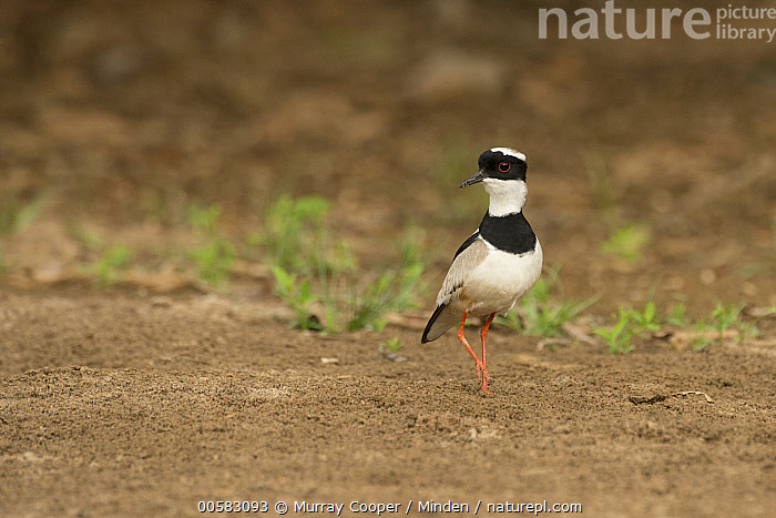 Pied Lapwing (Vanellus cayanus), South America, Adult, Color Image, Day, Full Length, Horizontal, Nobody, One Animal, Outdoors, Photography, Pied Lapwing, Shorebird, Side View, South America, Vanellus cayanus, Wildlife,Pied Lapwing,South America, Murray Cooper
