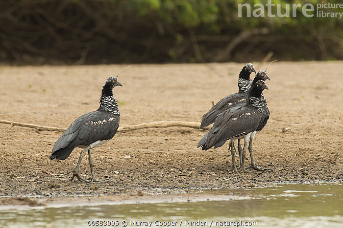 Horned Screamer (Anhima cornuta) group, South America  ,  Adult, Anhima cornuta, Color Image, Day, Four Animals, Full Length, Horizontal, Horned Screamer, Nobody, Outdoors, Photography, Side View, South America, Wildlife,Horned Screamer,South America  ,  Murray Cooper