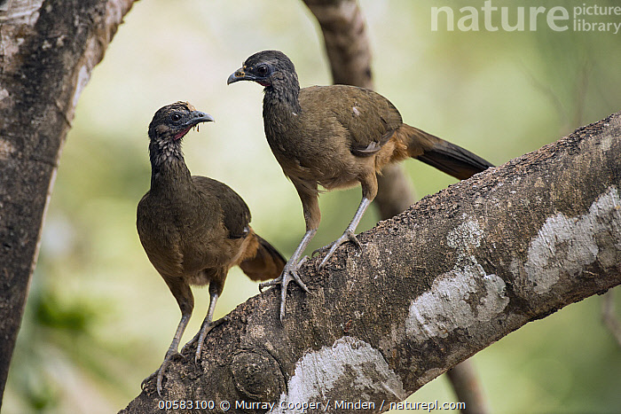 Speckled Chachalaca (Ortalis guttata) pair, South America, Adult, Color Image, Day, Front View, Full Length, Gamebird, Horizontal, Nobody, Ortalis guttata, Outdoors, Photography, Side View, South America, Speckled Chachalaca, Two Animals, Wildlife,Speckled Chachalaca,South America, Murray Cooper