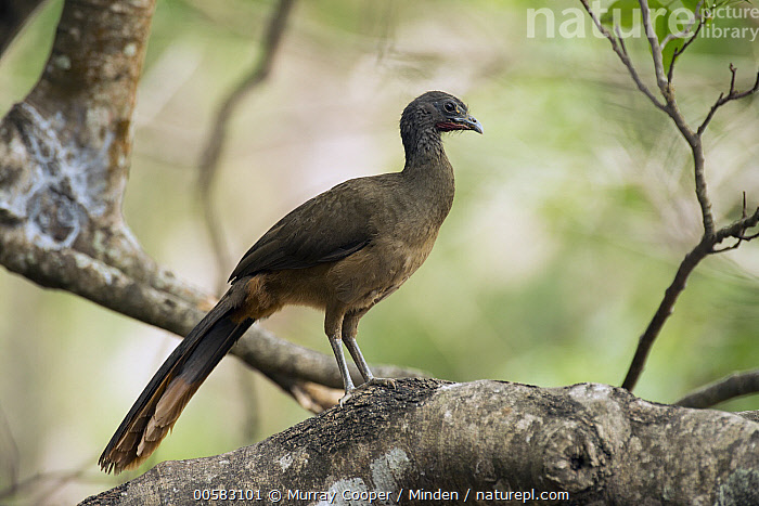 Speckled Chachalaca (Ortalis guttata), South America, Adult, Color Image, Day, Full Length, Gamebird, Horizontal, Nobody, One Animal, Ortalis guttata, Outdoors, Photography, Side View, South America, Speckled Chachalaca, Wildlife,Speckled Chachalaca,South America, Murray Cooper