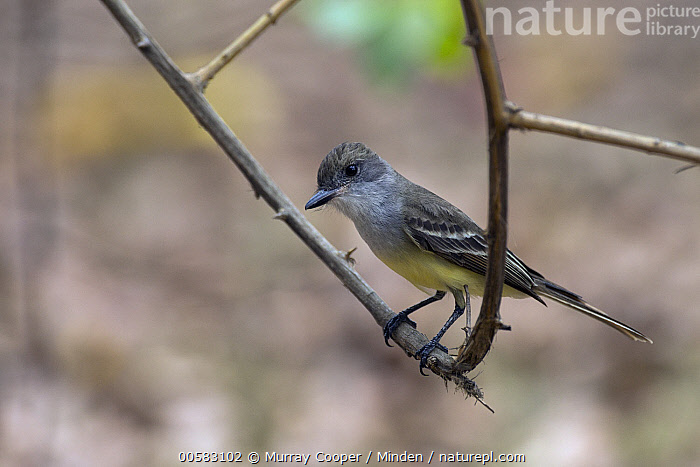 Short-crested Flycatcher (Myiarchus ferox), South America, Adult, Color Image, Day, Full Length, Horizontal, Myiarchus ferox, Nobody, One Animal, Outdoors, Photography, Short-crested Flycatcher, Side View, Songbird, South America, Wildlife,Short-crested Flycatcher,South America, Murray Cooper