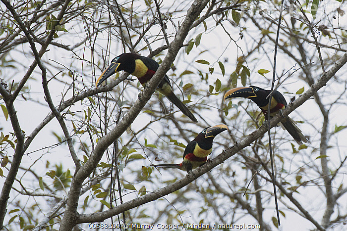 Chestnut-eared Aracari (Pteroglossus castanotis) flock, South America  ,  Adult, Chestnut-eared Aracari, Color Image, Day, Flock, Full Length, Horizontal, Low Angle View, Nobody, Outdoors, Photography, Pteroglossus castanotis, Side View, South America, Three Animals, Wildlife,Chestnut-eared Aracari,South America  ,  Murray Cooper