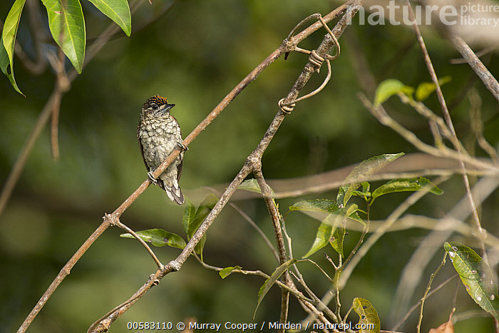 Scaled Piculet (Picumnus squamulatus), South America  ,  Adult, Color Image, Day, Front View, Full Length, Horizontal, Nobody, One Animal, Outdoors, Photography, Picumnus squamulatus, Scaled Piculet, South America, Wildlife,Scaled Piculet,South America  ,  Murray Cooper