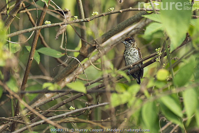 Scaled Piculet (Picumnus squamulatus), South America, Adult, Color Image, Day, Front View, Full Length, Horizontal, Nobody, One Animal, Outdoors, Photography, Picumnus squamulatus, Scaled Piculet, South America, Wildlife,Scaled Piculet,South America, Murray Cooper
