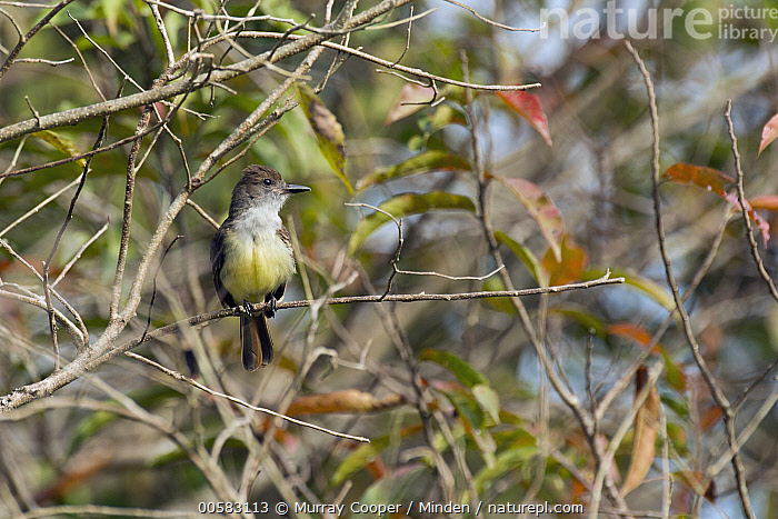 Dusky-capped Flycatcher (Myiarchus tuberculifer), South America, Adult, Color Image, Day, Dusky-capped Flycatcher, Front View, Full Length, Horizontal, Myiarchus tuberculifer, Nobody, One Animal, Outdoors, Photography, Songbird, South America, Wildlife,Dusky-capped Flycatcher,South America, Murray Cooper