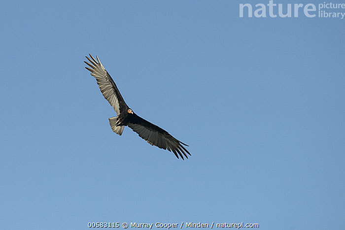 Lesser Yellow-headed Vulture (Cathartes burrovianus) flying, South America  ,  Adult, Cathartes burrovianus, Color Image, Day, Flying, Front View, Full Length, Horizontal, Lesser Yellow-headed Vulture, Low Angle View, Nobody, One Animal, Outdoors, Photography, Raptor, South America, Wildlife,Lesser Yellow-headed Vulture,South America  ,  Murray Cooper