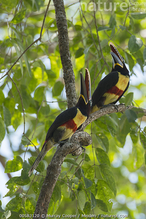 Chestnut-eared Aracari (Pteroglossus castanotis) pair calling, South America, Adult, Calling, Chestnut-eared Aracari, Color Image, Day, Full Length, Low Angle View, Nobody, Open Mouth, Outdoors, Photography, Pteroglossus castanotis, Side View, South America, Two Animals, Vertical, Wildlife,Chestnut-eared Aracari,South America, Murray Cooper