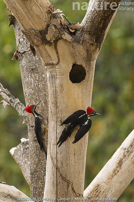 Lineated Woodpecker (Dryocopus lineatus) pair at nest cavity, South America, Adult, Color Image, Day, Dryocopus lineatus, Full Length, Lineated Woodpecker, Nest Cavity, Nobody, Outdoors, Photography, Rear View, Side View, South America, Two Animals, Vertical, Wildlife,Lineated Woodpecker,South America, Murray Cooper