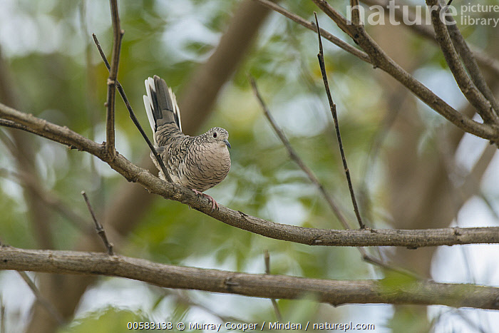 Scaled Dove (Columbina squammata), South America, Adult, Color Image, Columbina squammata, Day, Full Length, Horizontal, Nobody, One Animal, Outdoors, Photography, Scaled Dove, Side View, South America, Wildlife,Scaled Dove,South America, Murray Cooper