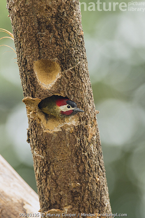 Spot-breasted Woodpecker (Colaptes punctigula) emerging from nest cavity, South America  ,  Adult, Colaptes punctigula, Color Image, Day, Emerging, Front View, Nest Cavity, Nobody, One Animal, Outdoors, Photography, South America, Spot-breasted Woodpecker, Vertical, Waist Up, Wildlife,Spot-breasted Woodpecker,South America  ,  Murray Cooper