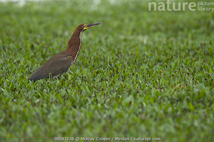 Rufescent Tiger-Heron (Tigrisoma lineatum), South America  ,  Adult, Color Image, Day, Full Length, Horizontal, Nobody, One Animal, Outdoors, Photography, Rufescent Tiger-Heron, Side View, South America, Tigrisoma lineatum, Wading Bird, Wildlife,Rufescent Tiger-Heron,South America  ,  Murray Cooper