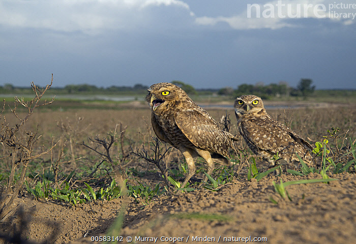 Burrowing Owl (Athene cunicularia) pair in plain, South America  ,  Adult, Animal in Habitat, Athene cunicularia, Burrowing Owl, Calling, Color Image, Day, Full Length, Horizontal, Looking at Camera, Nobody, Open Mouth, Outdoors, Photography, Plain, Raptor, Side View, South America, Two Animals, Wide-angle Lens, Wildlife,Burrowing Owl,South America  ,  Murray Cooper
