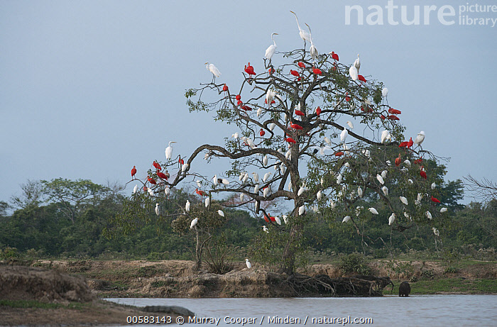 White Ibis (Eudocimus albus), Scarlet Ibis (Eudocimus ruber), and Cattle Egret (Bubulcus ibis) flock roosting in tree, South America  ,  Adult, Animal in Habitat, Bubulcus ibis, Cattle Egret, Color Image, Day, Eudocimus albus, Eudocimus ruber, Flock, Full Length, Horizontal, Large Group of Animals, Mixed, Nobody, Outdoors, Photography, Roosting, Scarlet Ibis, Side View, South America, Tree, Wading Bird, White Ibis, Wildlife,White Ibis,Scarlet Ibis,Eudocimus ruber,South America  ,  Murray Cooper