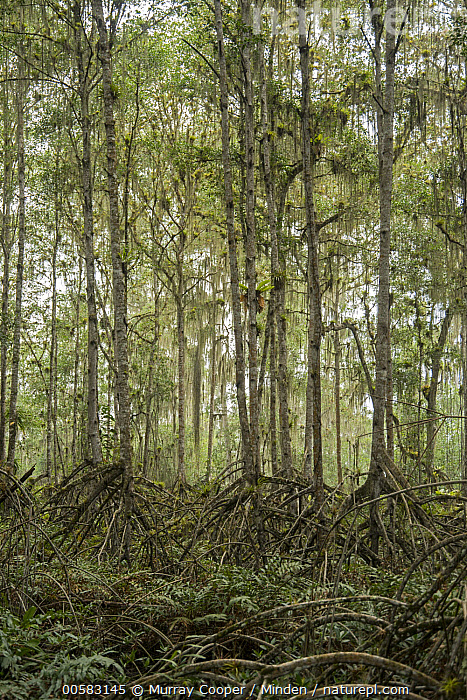 Mangrove (Rhizophora sp) trees, Cayapas Mataje Ecological Reserve, Ecuador, Aerial Root, Cayapas Mataje Ecological Reserve, Color Image, Day, Ecuador, Forest, Interior, Landscape, Mangrove, Nobody, Outdoors, Photography, Rhizophora sp, Vertical,Mangrove,Ecuador, Murray Cooper