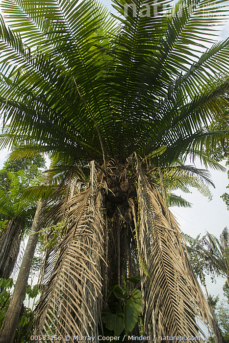 Tagua Palm (Phytelephas macrocarpa), South America, Color Image, Day, Interior, Landscape, Low Angle View, Nobody, Outdoors, Photography, Phytelephas macrocarpa, South America, Tagua Palm, Tree, Vertical,Tagua Palm,South America, Murray Cooper