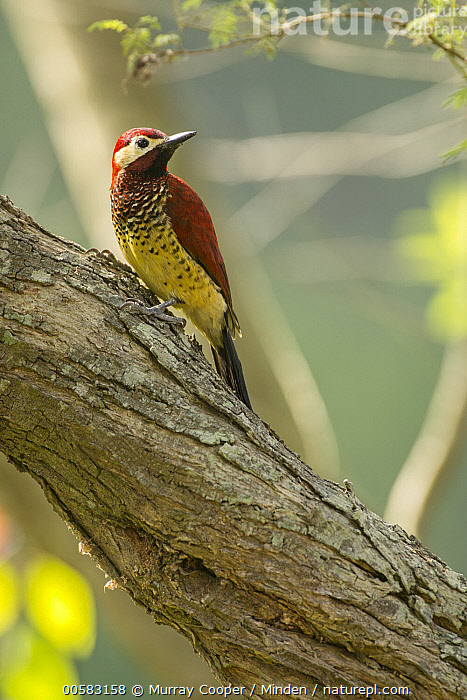 Crimson-mantled Woodpecker (Colaptes rivolii), South America, Adult, Colaptes rivolii, Color Image, Crimson-mantled Woodpecker, Day, Full Length, Nobody, One Animal, Outdoors, Photography, Side View, South America, Vertical, Wildlife,Crimson-mantled Woodpecker,South America, Murray Cooper
