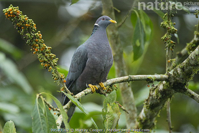 Band-tailed Pigeon (Patagioenas fasciata), South America  ,  Adult, Band-tailed Pigeon, Color Image, Day, Full Length, Horizontal, Nobody, One Animal, Outdoors, Patagioenas fasciata, Photography, Side View, South America, Wildlife,Band-tailed Pigeon,South America  ,  Murray Cooper