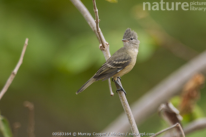 Southern Beardless-Tyrannulet (Camptostoma obsoletum), South America  ,  Adult, Camptostoma obsoletum, Color Image, Day, Full Length, Horizontal, Nobody, One Animal, Outdoors, Photography, Side View, South America, Southern Beardless-Tyrannulet, Wildlife,Southern Beardless-Tyrannulet,South America  ,  Murray Cooper