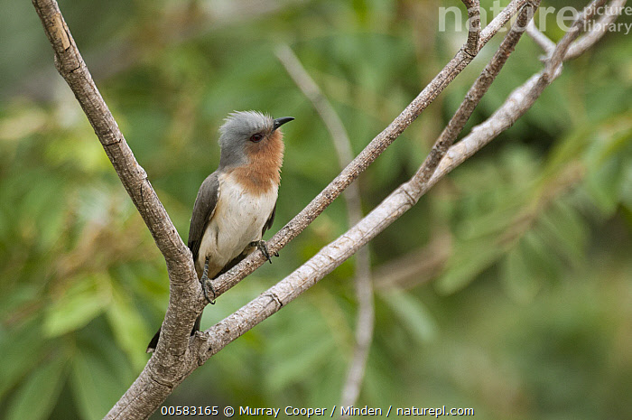 Dwarf Cuckoo (Coccyzus pumilus), South America, Adult, Coccyzus pumilus, Color Image, Day, Dwarf Cuckoo, Full Length, Horizontal, Nobody, One Animal, Outdoors, Photography, Side View, South America, Wildlife,Dwarf Cuckoo,South America, Murray Cooper