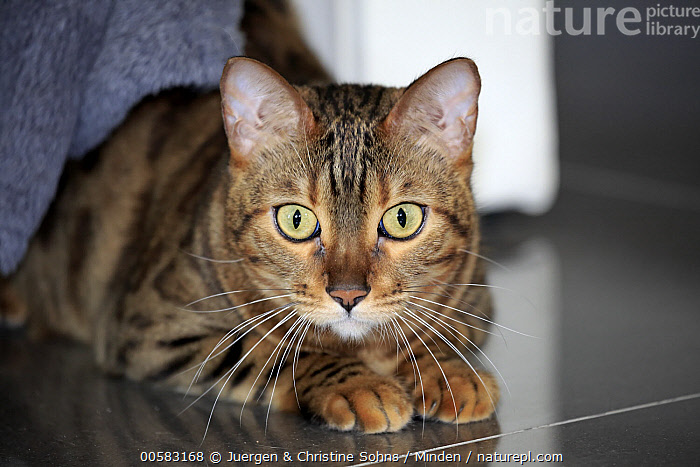 Bengal Cat (Felis catus), Germany, Adult, Bengal Cat, Color Image, Day, Domestic Cat, Felis catus, Front View, Germany, Horizontal, Indoors, Looking at Camera, Nobody, One Animal, Pet, Photography, Three Quarter Length,Bengal Cat,Germany, Juergen & Christine Sohns